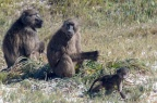 Baboons at the Cape of Good Hope
