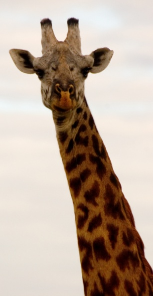 IMG_0652 tight giraff.jpg
